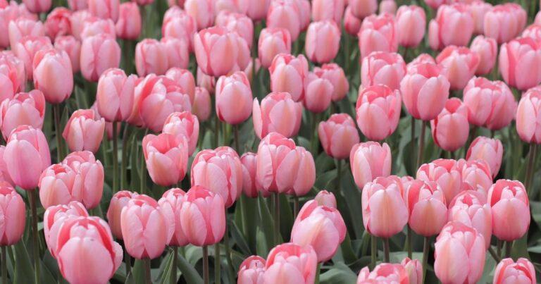 This Day In Market History, Feb. 5: Peak Tulip Mania